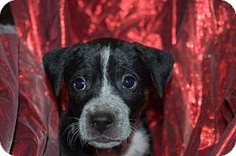 Labrador Retriever/Blue Heeler Mix Puppy for adoption in Lebanon, Tennessee - TIPSY