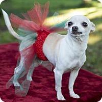 Adopt A Pet :: Lily Chi--precious senior girl---N - Alvin, TX