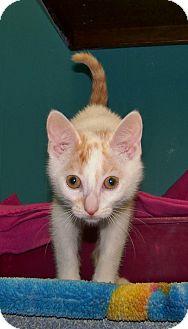 Domestic Shorthair Kitten for adoption in Dover, Ohio - Honey