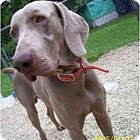 Adopt A Pet :: Silber **ADOPTED** - Eustis, FL