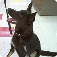 Adopt A Pet :: Ike - Evergreen Park, IL