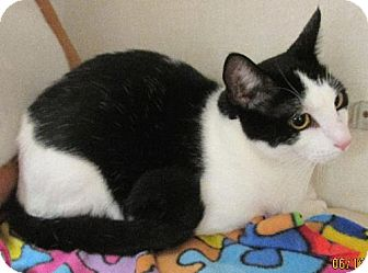 Domestic Shorthair Cat for adoption in Conroe, Texas - Sam