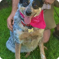 Australian Cattle Dog Dog for adoption in Burbank, California - Pretty Queenie-VIDEO