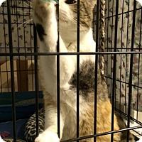 Adopt A Pet :: Amy - Byron Center, MI