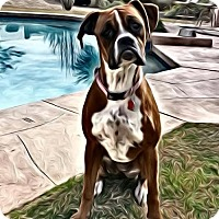 Adopt A Pet :: Laura - Phoenix, AZ