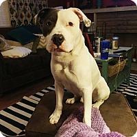 Adopt A Pet :: Petey *CL* - Independence, MO