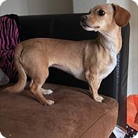 Adopt A Pet :: Sweet Pea - Las Vegas, NV