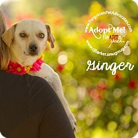 Adopt A Pet :: Ginger - Pearland, TX
