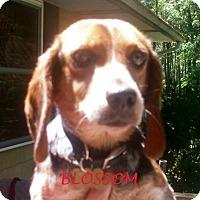 Adopt A Pet :: BLOSSOM - Ventnor City, NJ