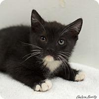 Adopt A Pet :: Sox - Los Angeles, CA