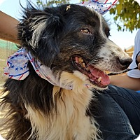 Border Collie Dog for adoption in Apple Valley, California - Domino