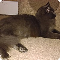 Maine Coon Cat for adoption in St Paul, Minnesota - Briella