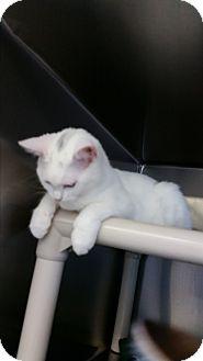Domestic Shorthair Kitten for adoption in Chippewa Falls, Wisconsin - Carlos