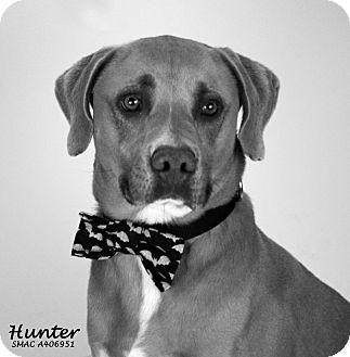 Labrador Retriever/Weimaraner Mix Dog for adoption in Santa Maria, California - Hunter