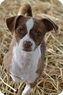 Terrier (Unknown Type, Medium)/Chihuahua Mix Dog for adoption in Vacaville, California - Cinnamon
