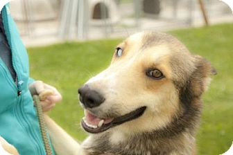 Siberian Husky Mix Dog for adoption in Harvard, Illinois - Chewy