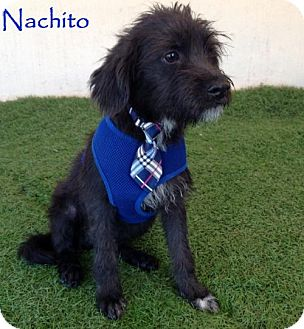 Terrier (Unknown Type, Medium) Mix Puppy for adoption in San Diego, California - Nachito
