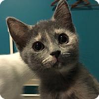 Domestic Shorthair Kitten for adoption in LaGrange, Kentucky - Coriander