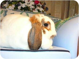 Mini Lop Mix for adoption in Newport, Delaware - Theodora