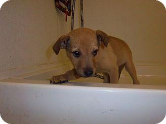 Labrador Retriever/Terrier (Unknown Type, Medium) Mix Puppy for adoption in Windsor, Missouri - Toby