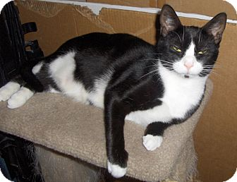 Domestic Shorthair Cat for adoption in Richmond, Virginia - Chickadee