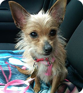 Chihuahua Mix Dog for adoption in Richmond, Virginia - Fiona