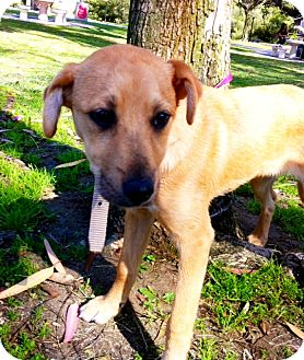 Labrador Retriever/German Shepherd Dog Mix Puppy for adoption in Irvine, California - MAYA, Ill be Small! 35 Lbs