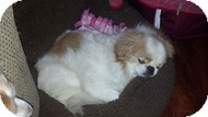 Japanese Chin/Pekingese Mix Dog for adoption in Wilmington ...