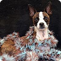 Adopt A Pet :: Lara - Bridgeton, MO