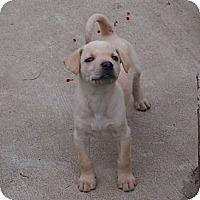 Adopt A Pet :: Buffy - Plano, TX