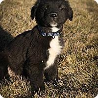 Adopt A Pet :: Elfie FloppyFeet - Broomfield, CO
