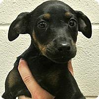 Adopt A Pet :: Velvet - white settlment, TX