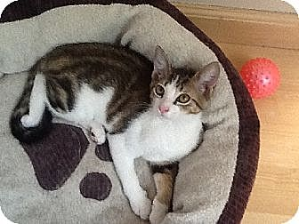 Domestic Shorthair Cat for adoption in Woodland Hills, California - Chance