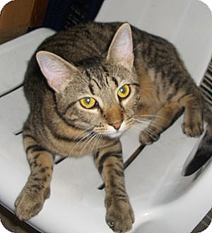 Domestic Shorthair Cat for adoption in Richmond, Virginia - Tinks