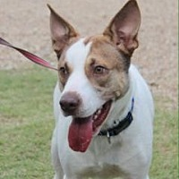 Bull Terrier Mix Dog for adoption in Baton Rouge, Louisiana - Sport