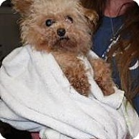 Adopt A Pet :: Bonnie-Poo - LEXINGTON, KY