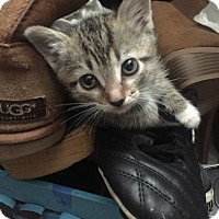 Adopt A Pet :: Socks - San Ramon, CA