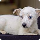 Adopt A Pet :: Blondie (pom js)