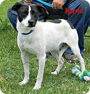 Spaniel (Unknown Type) Mix Dog for adoption in Lawrenceburg, Tennessee - Harold