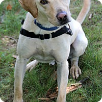 Labrador Retriever Mix Dog for adoption in Harrison, New York - Skip