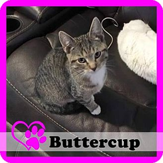 Domestic Shorthair Cat for adoption in Medford, New Jersey - Buttercup