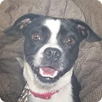Adopt A Pet :: Radley - Memphis, TN