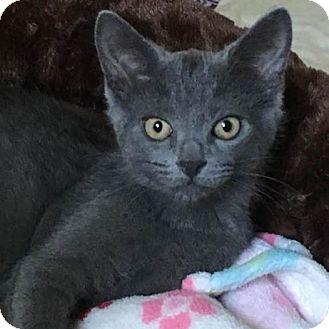 Domestic Shorthair Kitten for adoption in Lanoka Harbor, New Jersey - GRACIE