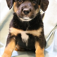 Adopt A Pet :: Rumba - Hagerstown, MD