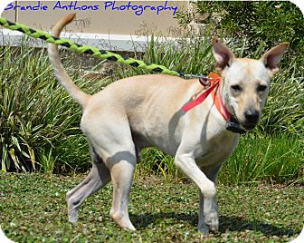 Greyhound Mix Dog for adoption in Cat Spring, Texas - Indy