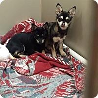Adopt A Pet :: Suzi - Plymouth Meeting, PA