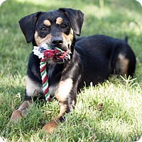 Beagle Mix Dog for adoption in San Diego, California - Abby