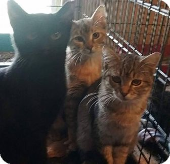 Domestic Shorthair Kitten for adoption in Macomb, Illinois - Jackson, Madison, Piper