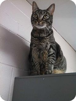 Domestic Shorthair Cat for adoption in Elmsford, New York - Wyatt