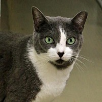 Domestic Shorthair Cat for adoption in Morgan Hill, California - Spitfire